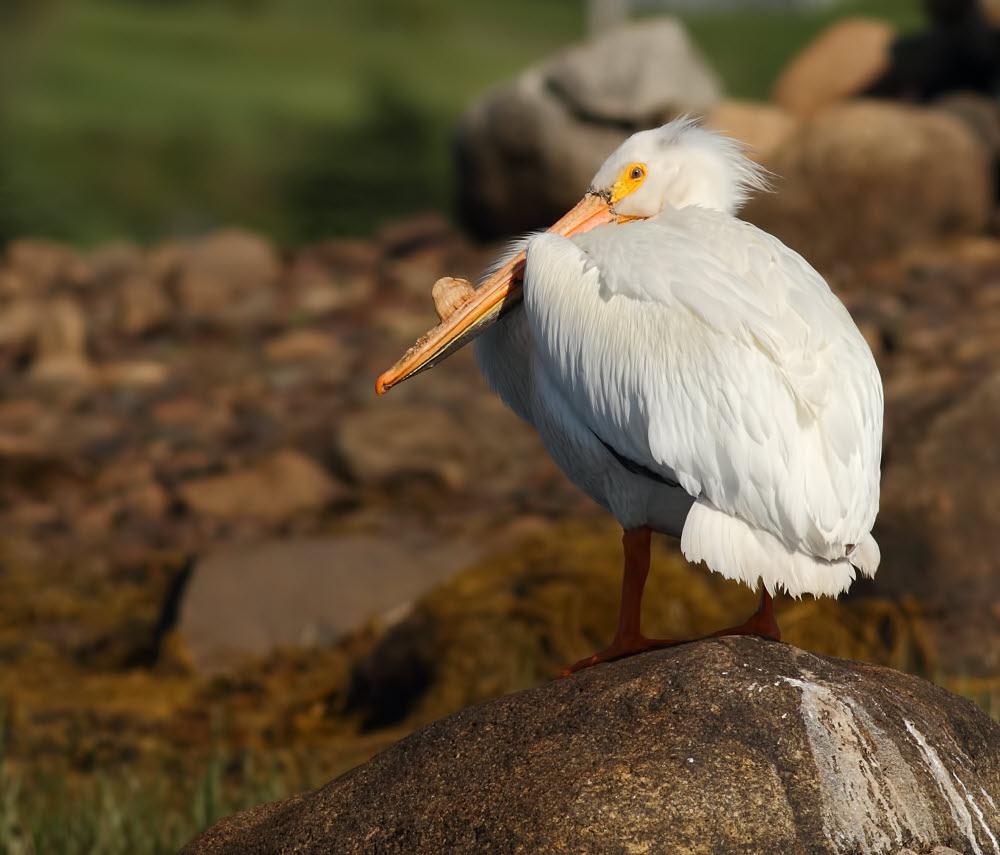 Pelicans Pelecanus Erythrorhynchos: The Birds Of Nova Scotia